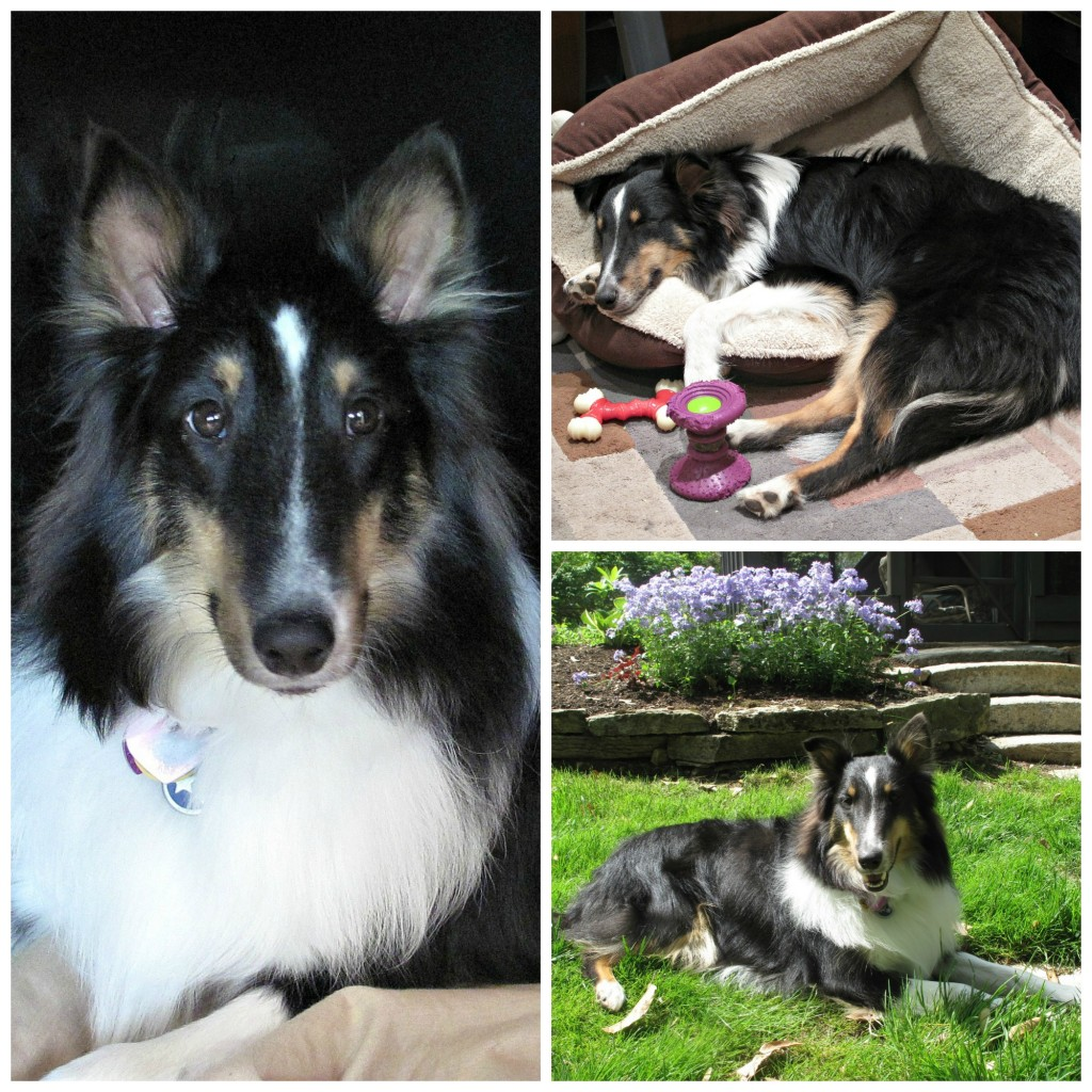 Collage of three photos of Pax the Sheltie inside, outside and asleep in his dog bed.