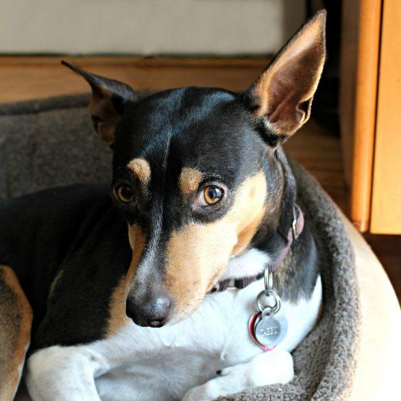 Tabby a Rat Terrier
