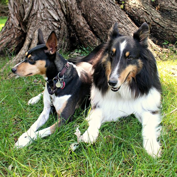 Tabby the Rat Terrier and Pax the Sheltie lying down on grass