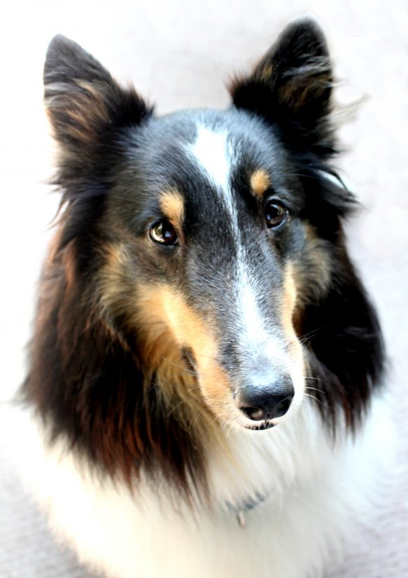 Pax a tri-color Sheltie